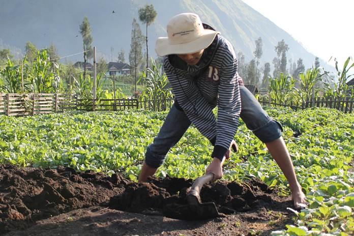 pertanian organik di indonesia