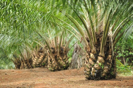 kebun kelapa sawit 1