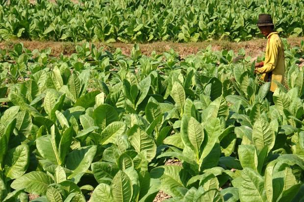 Perkembangan pertanian perkebunan di indonesia