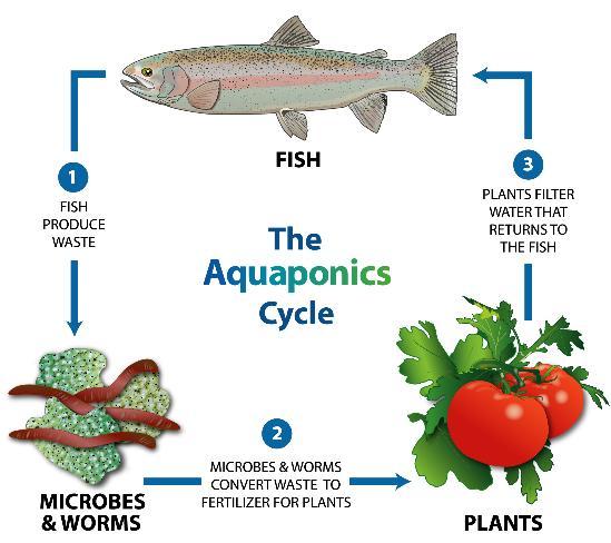 (Alur dan sistem teknologi pertanian sederhana aquaponik / Gambar : Mother Earth News)