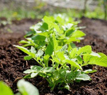 (Pertanian Organik : Contoh Inovasi Pertanian yang Ramah Lingkungan)